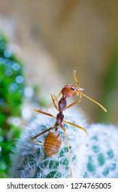 Macro of Green tree ant, Green tree ant Macro, Macro Ants, Oecophylla smaragdina, Oecophylla,  Small ant, Beautiful ants, Cute ant, Green background
