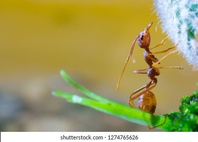 Macro of Green tree ant, Green tree ant Macro, Macro Ants, Oecophylla smaragdina, Oecophylla,  Small ant, Beautiful ants, Cute ant, Green background