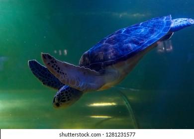 Macro Green Turtle, chelonia mydas close up