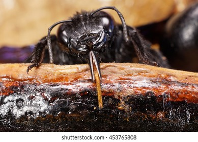 Macro head of the body of the Caucasian bee carpenter Xylocopa valga with legs and antennae sitting in the nest