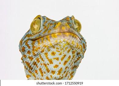 Macro head of gecko reptile with big eyes and eyelashes on white background