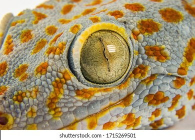 Macro head of gecko reptile with big eye and eyelashes on white background