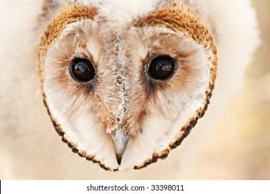 macro head one baby African grass owl chick, protected less like 5000, strigiformes,Tyto longimembris