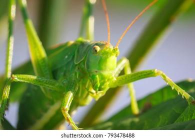 Macro head view close-up of a Great Green Bush-cricket, Tettigonia viridissima.