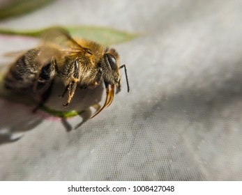 Macro of a honey bee