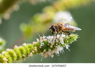 Macro of a honey bee (apis mellifera) on a mint (menta piperita) blossom with blurred bokeh background; pesticide free environmental protection save the bees biodiversity concept;