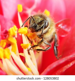 Macro of a Honey Bee Collecting Pollen on a Red Camellia
