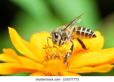 Macro of honey bee eating nectar on yellow flower