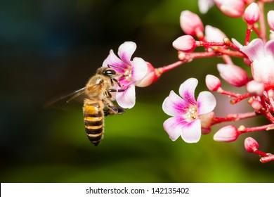 Macro of honey bee on pink Carambola flower
