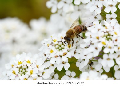 Macro of a honey bee takes pollen from small white candytuft flowers