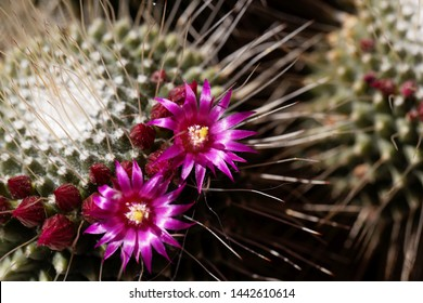 Macro hoto of flowers from a spiny pincushion cactus, Mammillaria spinosissima