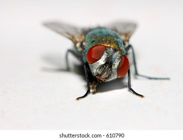"Macro of a House Fly or ""Blowfly"""