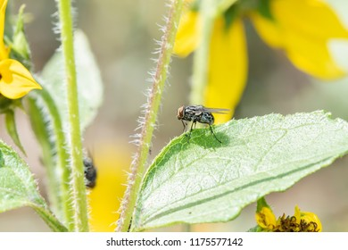 Macro of a House Fly Perched on a Green Leaf on Wildflowers in Eastern Colorado