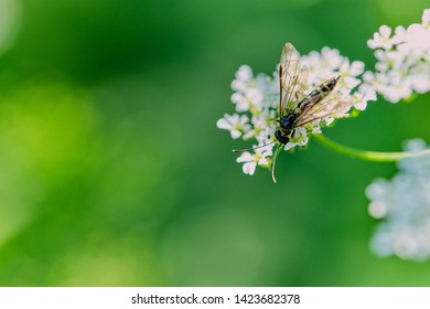 macro of hover fly - family Surphidae - on wild chervil flower against green background with copy space