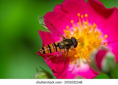 Makro eines Hoverfly auf rosafarbener Rosenblüte