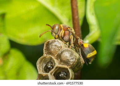 Macro of Hymenoptera is a large order of insects, comprising the sawflies, wasps, bees, and ants yellow and black color close up on the nest in nature