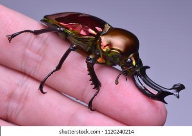 macro image of a beautiful Rainbow Stag Beetle - Phalacrognathus muelleri
