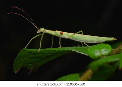 macro image of a beautiful stick insect from Borneo