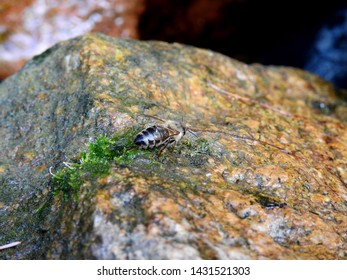 Macro image of a bee drinking a water drop from a stone. Poland