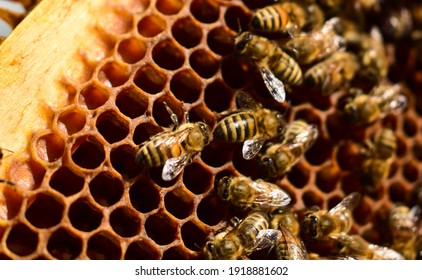 Macro image of a bee on a frame from a hive. Bees on honeycomb. Apiculture. Close up of a frame with a wax honeycomb of honey with bees on them. Apiary workflow. Copy space. Selective focus