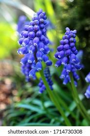 Macro Image of Blue Grape Hyacinth