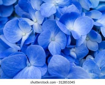 Macro image of Blue Hydrangea flower.