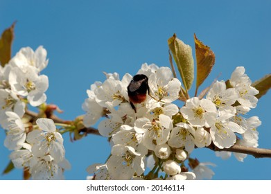 A macro image of a bumblebee deeply absorbed drinking nectar from a cherry blossom.