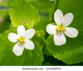 Macro image of Canadian white violet wildflower with green background