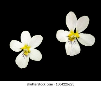 Macro image of Canadian white violet wildflower with black background