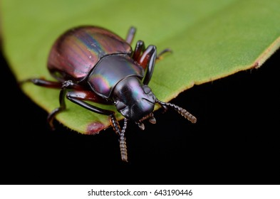 macro image of a colorful darkling beetle on green leaf