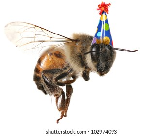 Macro Image of Common Honey Bee From North America Flying With Birthday Hat