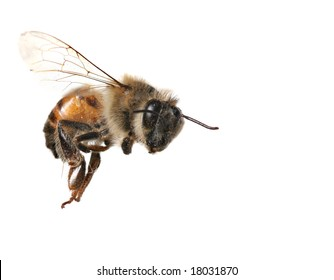 Macro Image of Common Honey Bee From North America Flying on White Background
