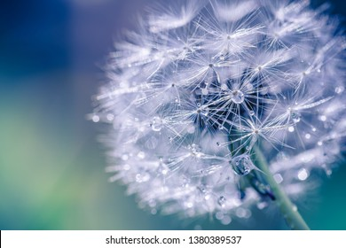 Macro image of dandelions with morning dew, raindrops, natural blue green blurred spring background, selective focus. Calmness and inspire concept, closeup dandelion, beautiful nature background