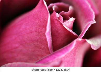 Macro image of a dark red rose