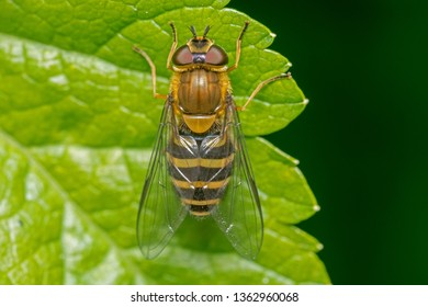 A macro image of the dorsal view of a Hoverfly species showing antennae detail. Hoverfly are common in England and have an extensive range of dorsal design.