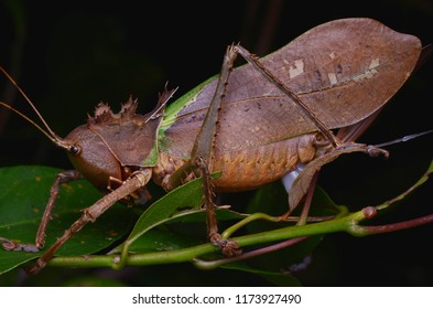 macro image of a Dragon Headed Katydid eating spermatophylax