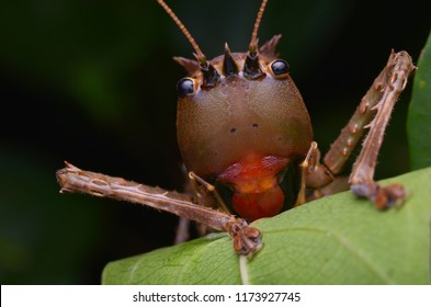 macro image of a Dragon Headed Katydid