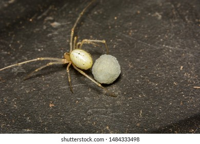 A macro image of an Enoplognatha (lineata form) spider carefully guarding her egg sac in a dark compost bin. She is hidden and safe unless someone comes and drops kitchen peelings on her web.