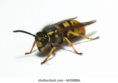 Macro image of a European wasp  on a white background