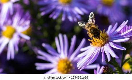 Macro image of european or western honeybee worker Apis mellifera gathering pollen from violet alpine aster flower Aster alpinus.