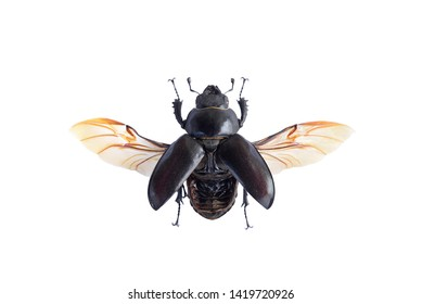 Macro image of a female stag beetle insect (Lucanus cervus) with spread wings in high resolution