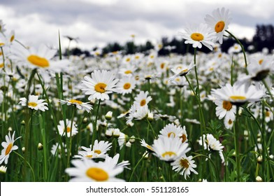 Macro Image of a Field of Daisies on a Stormy Day - Horizontal - Minnesota Landscape