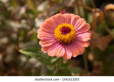 Macro image of a flower of the species Zinnia elegans of pink color on unfocused background of green colors