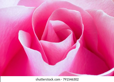 Macro image of fresh pink rose showing detail of line and curve of petal and beautiful color.
