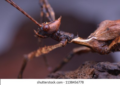 macro image of The Giant Prickly Stick Insect - Extatosoma tiaratum (Male)