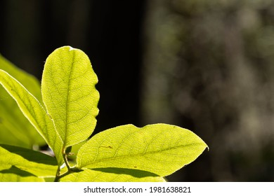 Macro image of green leaves backlit by the sun on a dark background.