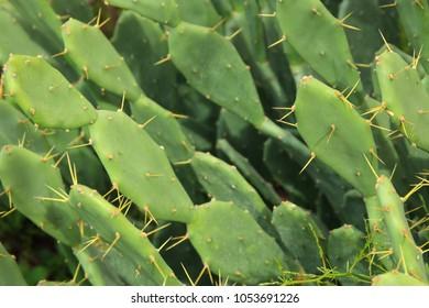 Macro image of green sabras cactus