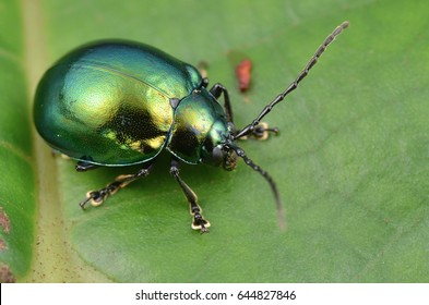 macro image of a green shiny leaf beetle