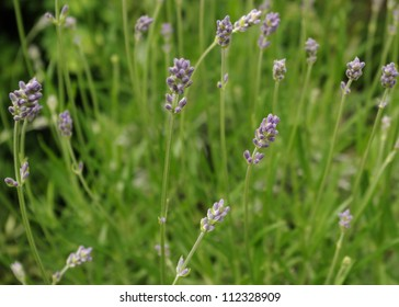 Macro image of a group of flower heads on a lavender bush in the English countryside