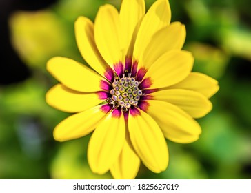 Macro image of the inside of a yellow daisy flower